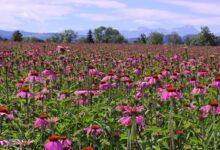 Echinacea zählt zu den wichtigen Ausgangsstoffen der Produkte von A.Vogel, deren Daten nun einheitlich mit dem SyncManager der Bayard Consulting Group verwaltet werden sollen. (Foto: A.Vogel)